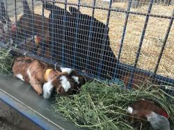 Goats On the Farm_1