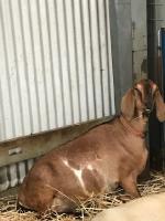 Goats On the Farm_2