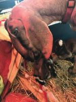 Goats on the Farm_3