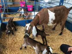Goats on the Farm_4